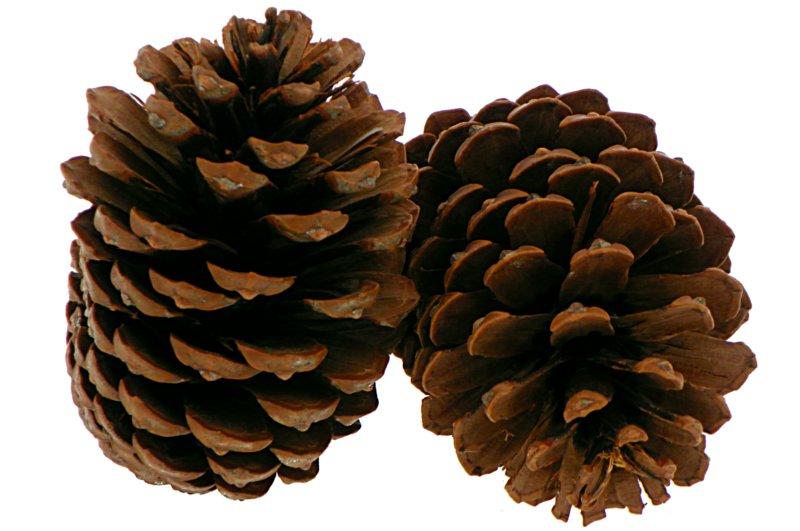 Pine Pine Pinus Maritima Sush 11-14CM SZYSZKAS
