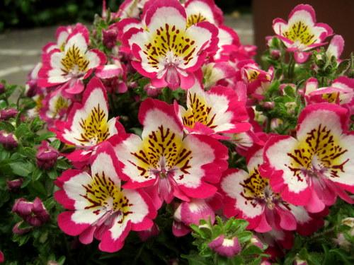 БАБОЧКА _COLOR RABATA, Чудо Самый красивый цветок