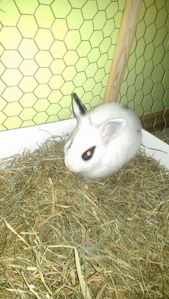 Sprzedam króliczka miniaturkę