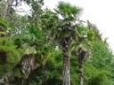 Palma mrozoodporna Trachycarpus Fortunei P13 Roślina w postaci sadzonka w pojemniku 1-2l