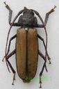 Aulacotoma tenuelimbata samiec Madagaskar 37mm