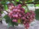 Winorośl wczesna Nadjeżda Ukraińska art. nr 258