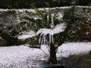 Palma mrozoodporna Trachycarpus Fortunei C3 Rodzaj rośliny Inny