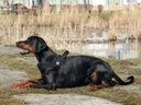 SZELKI duże XL 70-90cm TRE PONTI czarne Labrador Wielkość psa duży pies