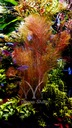 Wywłócznik rdzawy - pierzasta, ruda piękność