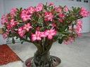 Адениум obesum роза Пустыни мини BAOBAB