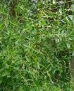 Wierzba 'Erythroflexuosa' (argentyńska)  C2 130 cm