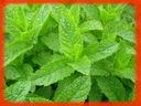 Mentha spicata Mięta zielona_SADZONKI + GRATIS