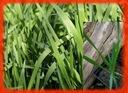 Żubrowa trawa, ŻUBRÓWKA, turówka wonna+GRATIS