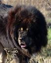 Mastif tybetański - piękny sprawdzony reproduktor