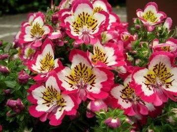 БАБОЧКА__ЦВЕТОВАЯ СКИДКЕ, Чудо самый Красивый Цветок доставка товаров из Польши и Allegro на русском