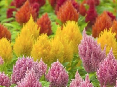CELOZJA PIERZASTA цветные Пылающие Перья